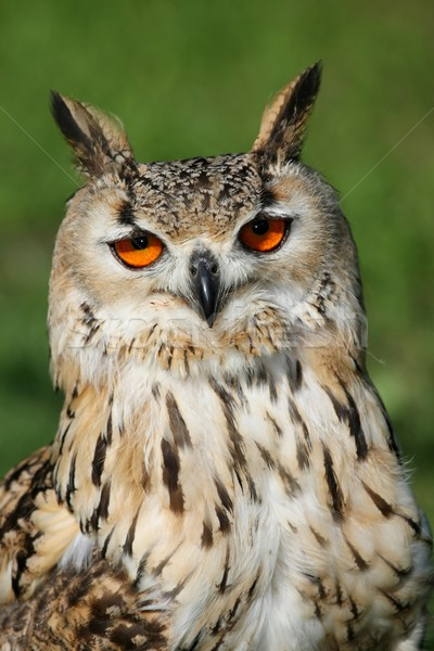 Great Horned Owl Stock photo © fouroaks