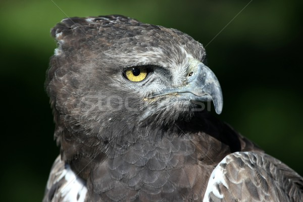 イーグル 肖像 黄色 眼 鳥 ストックフォト © fouroaks