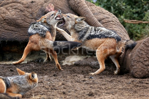 Jackal Fight Stock photo © fouroaks