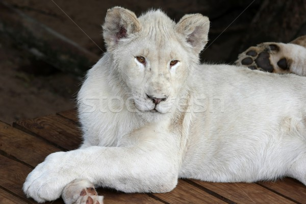 White Lion  Stock photo © fouroaks