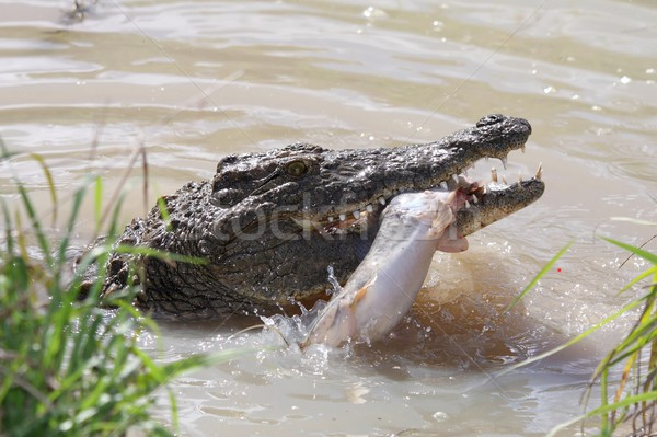Crocodile Catching Fish Stock photo © fouroaks