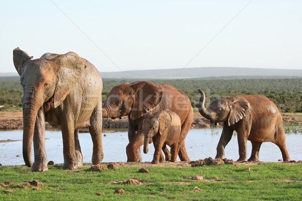 Stok fotoğraf: Filler · afrika · fil · aile · genç · park · hayvan