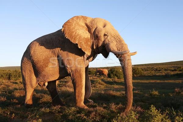Enorme elefante africano masculino grande coberto lama Foto stock © fouroaks