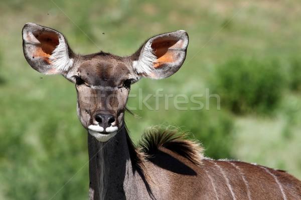Female Kudu Antelope Stock photo © fouroaks