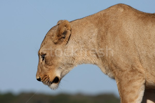 Lioness Profile Stock photo © fouroaks