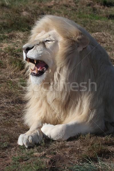 White Lion Male Stock photo © fouroaks