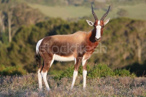 красивый большой глазах трава рот африканских Сток-фото © fouroaks