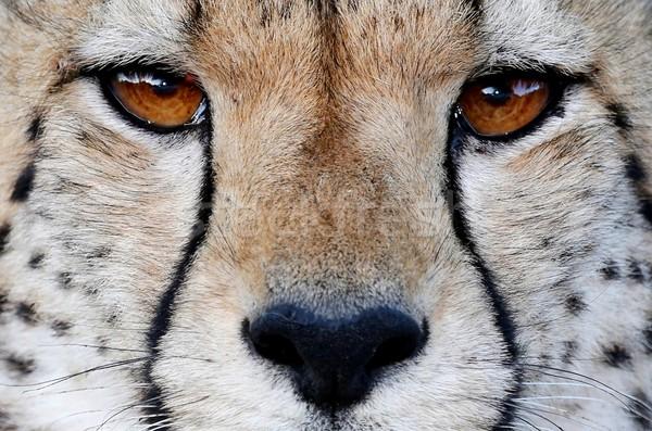 Gepárd vad macska szemek közelkép macskák Stock fotó © fouroaks