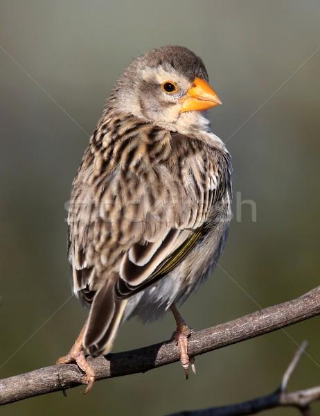 Stock foto: Vogel · orange · Schnabel · schauen · rückwärts · Auge
