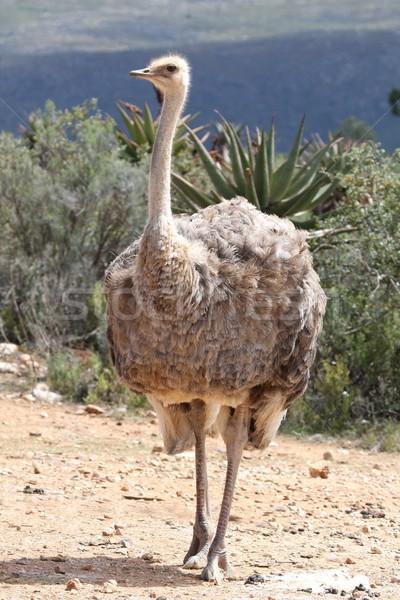 Female Ostrich Stock photo © fouroaks