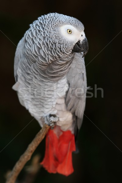 African Grey Parrot Stock photo © fouroaks