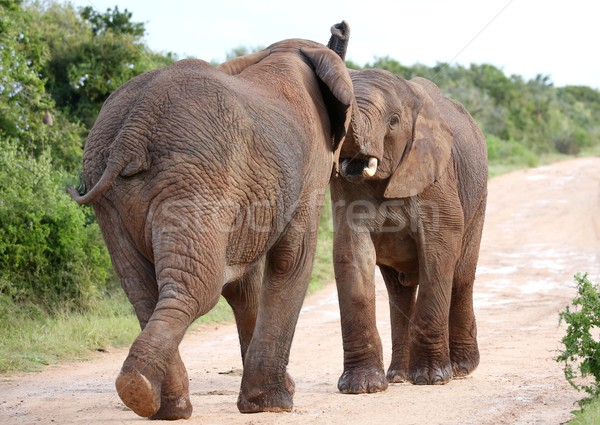 African Elephant Aggression Stock photo © fouroaks