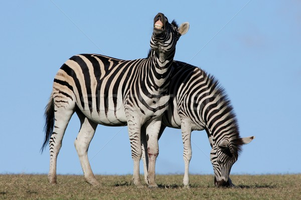 Zebra Pair Stock photo © fouroaks