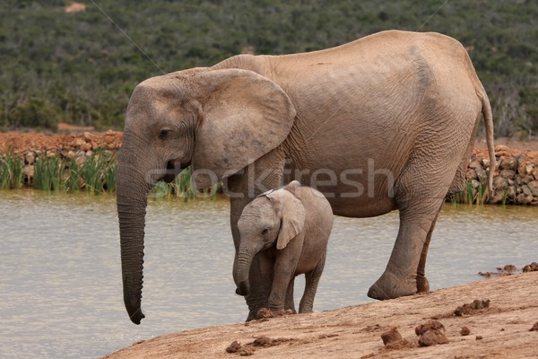 Stock photo: African Elephant Baby and Mother