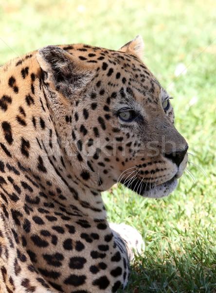 Leopárd portré nagymacska fekete fej szőr Stock fotó © fouroaks