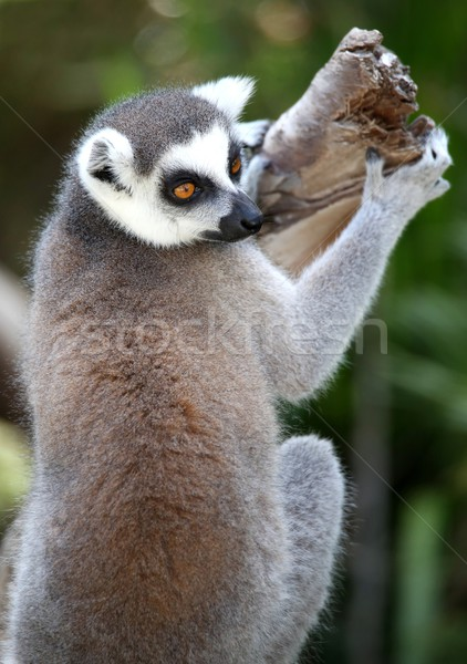 Lemur Primate  Stock photo © fouroaks