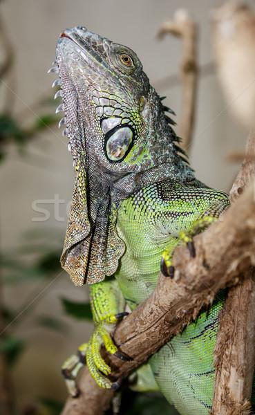 зеленый игуана рептилия подробный кожи природы Сток-фото © fouroaks