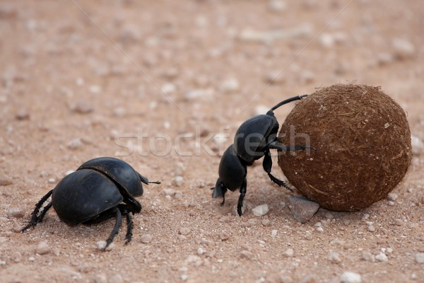 Bola casal África feminino inseto bicho Foto stock © fouroaks