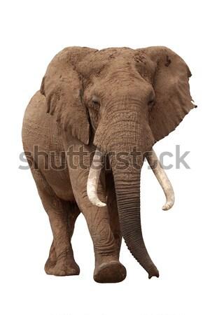 Büyük erkek afrika fil yalıtılmış beyaz doğa Stok fotoğraf © fouroaks