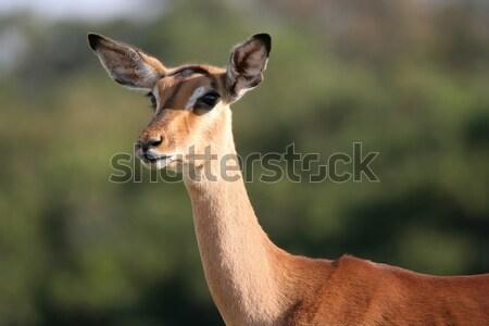 Impala Antelope Female Stock photo © fouroaks