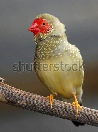 男性 星 歌 美しい オーストラリア 羽毛 ストックフォト © fouroaks