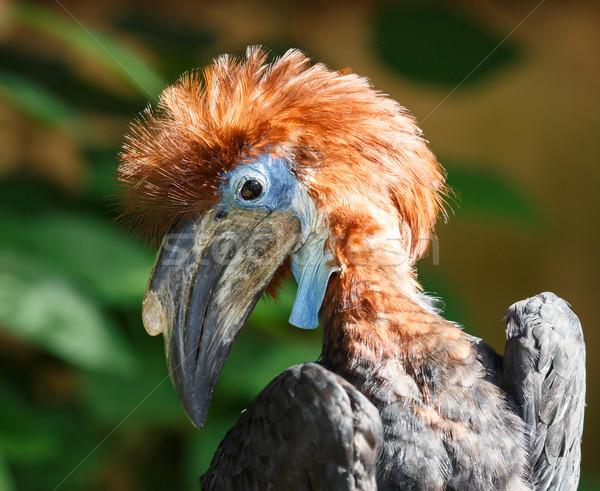 Black-casqued  blue-wattled Hornbill Young Stock photo © fouroaks