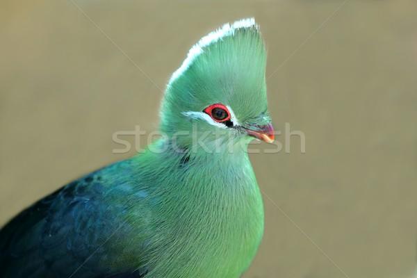 Vogel Südafrika Natur rot Tier schönen Stock foto © fouroaks