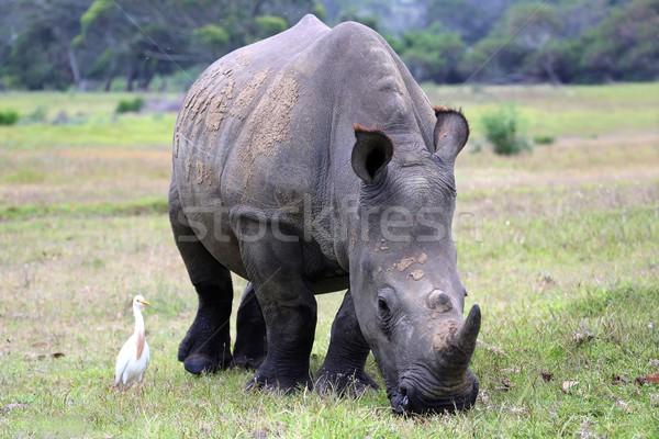White Rhinocerous Stock photo © fouroaks