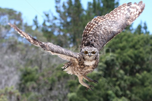 Eagle Owl in Flight Stock photo © fouroaks
