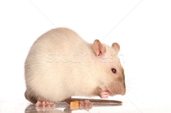 Pet White Rat Stock photo © fouroaks