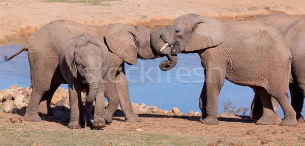 African Elephant Greeting Stock photo © fouroaks