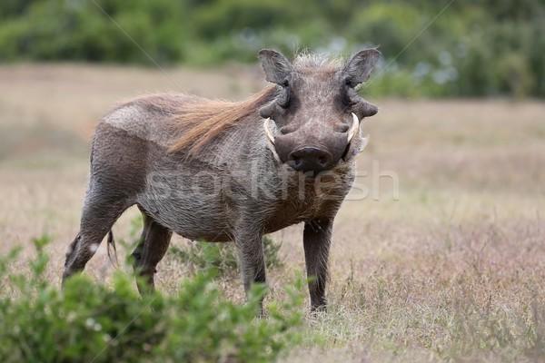 Сток-фото: животного · уродливые · глядя · Африка · Постоянный · Буш