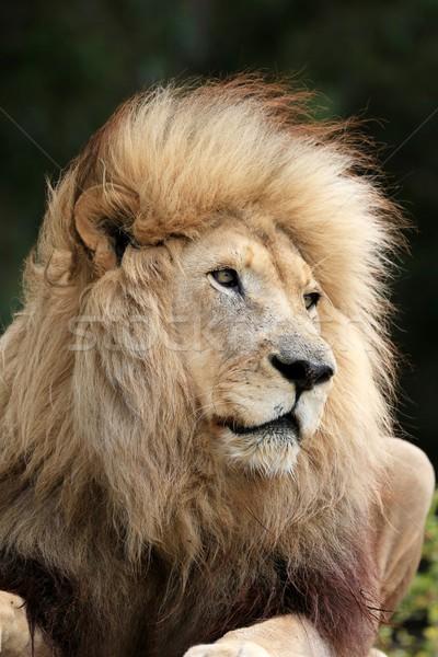 Lion Male Stock photo © fouroaks