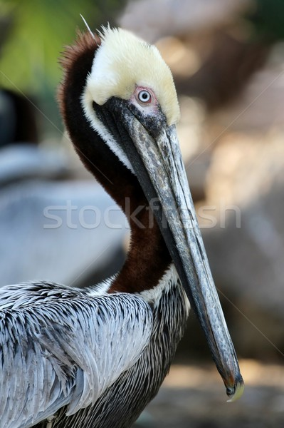 Brown Pelican Bird Stock photo © fouroaks