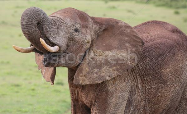 ストックフォト: アフリカゾウ · 男性 · 草 · 徒歩 · 皮膚