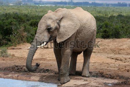 Stock photo: African Elephant Baby