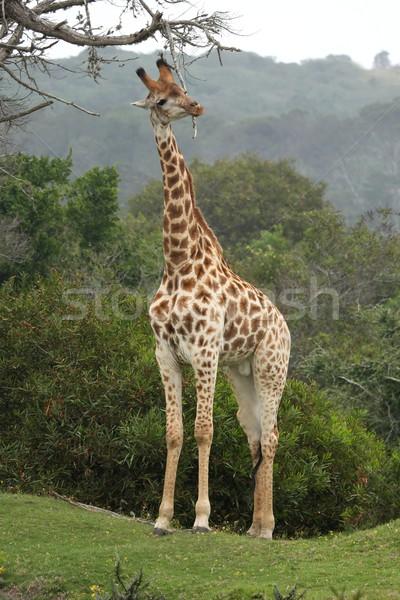 Giraffe Scratching Stock photo © fouroaks