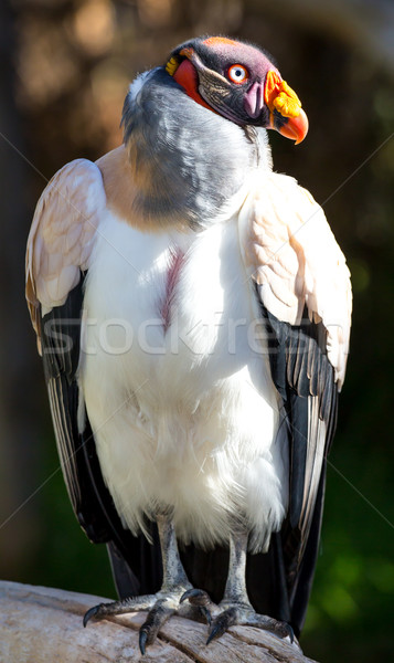 Kral kuş büyük turuncu gaga Stok fotoğraf © fouroaks