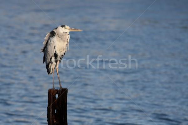 Heron Bird Stock photo © fouroaks