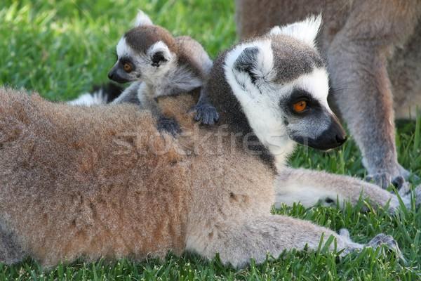 Cute Baby Lemur Stock photo © fouroaks