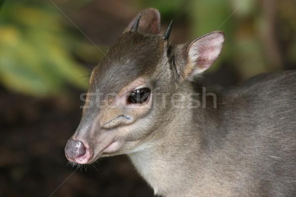 Blu piccolo shy foresta Sudafrica occhi Foto d'archivio © fouroaks