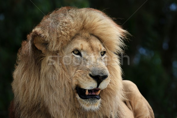 Male Lion  Stock photo © fouroaks