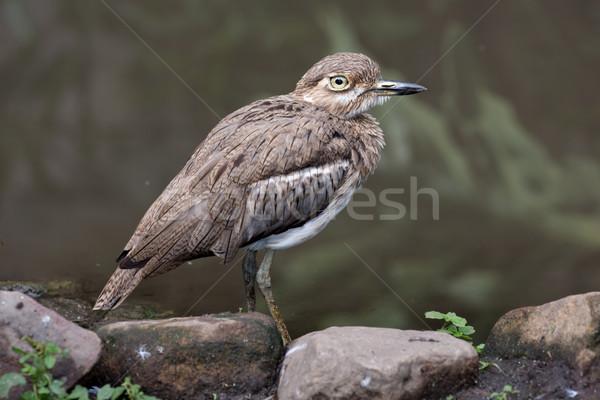 Stock photo: Water Dikkop or Thick-knee bird
