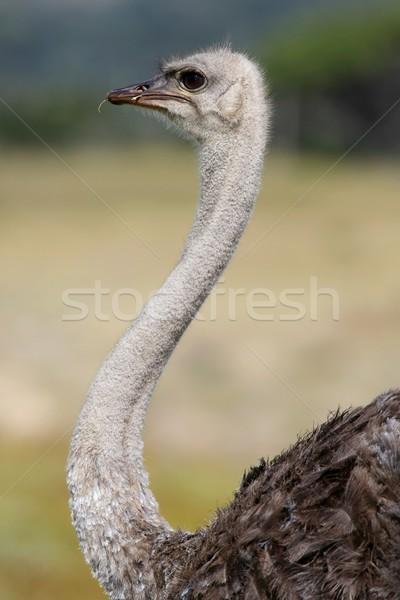 Female  Ostrich Bird Stock photo © fouroaks