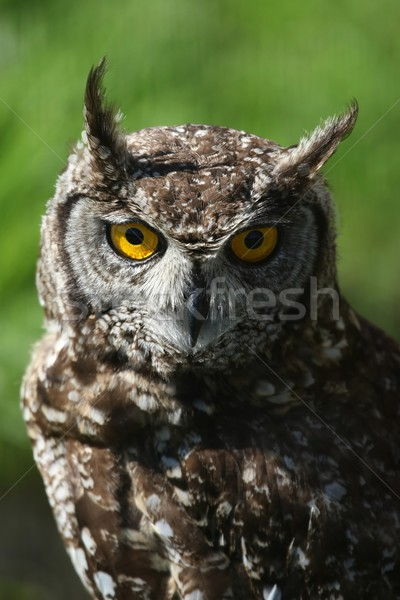 Eagle owl jaune yeux visage oiseau Photo stock © fouroaks