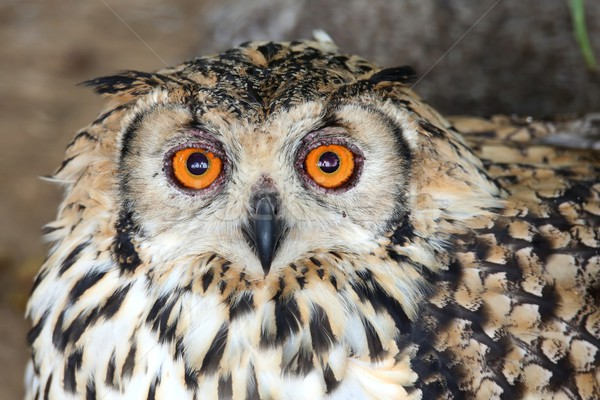 Eagle owl oiseau orange yeux belle Photo stock © fouroaks