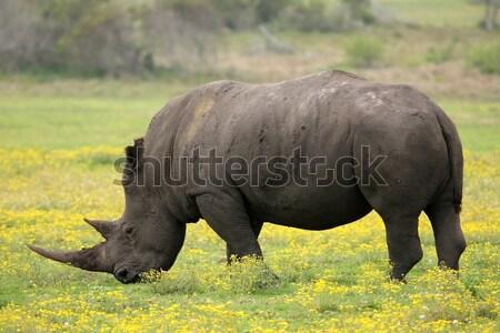 White Rhino Stock photo © fouroaks