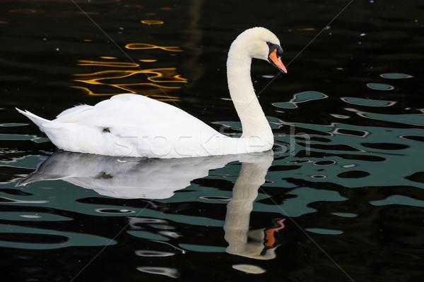 Beyaz kuğu yansıma yüzme su güzellik Stok fotoğraf © fouroaks