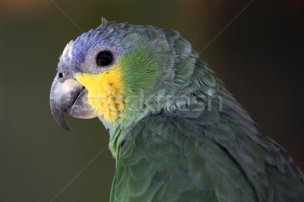 Parrot Stock photo © fouroaks