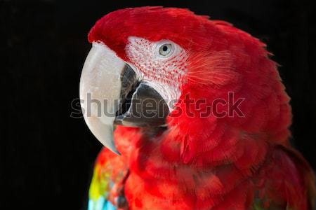 Knysna Turaco or Loerie Bird Stock photo © fouroaks